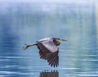 Heron flying over Lake Cumberland, Somerset-Pulaski County, KY