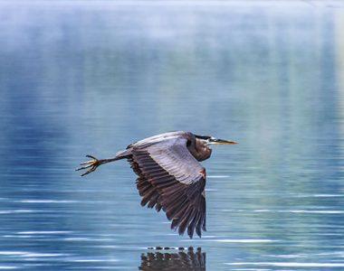 Heron flying over Lake Cumberland, Somerset-Pulaski County, KY